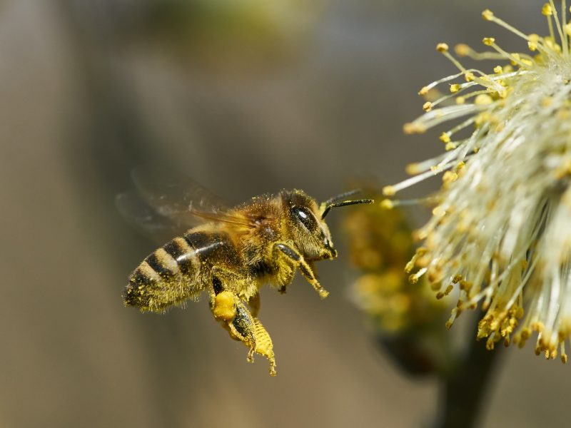 Bee with pollen on its legs in front of a flower